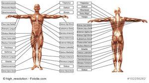 Muskulatur des Menschen