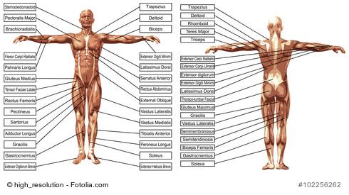 Muskulatur des Menschen - JG Personal Training